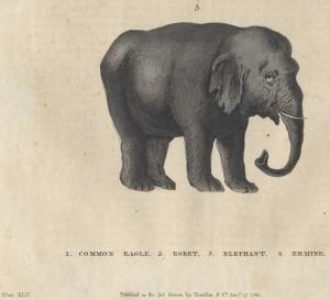 Elephant Harrison 1785