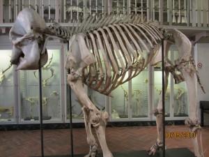 Het skelet van Hansken (foto H. Colenbrander)