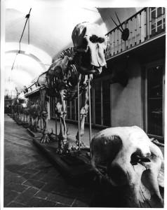 Skelet van hansken in het Specula Museum, Florence